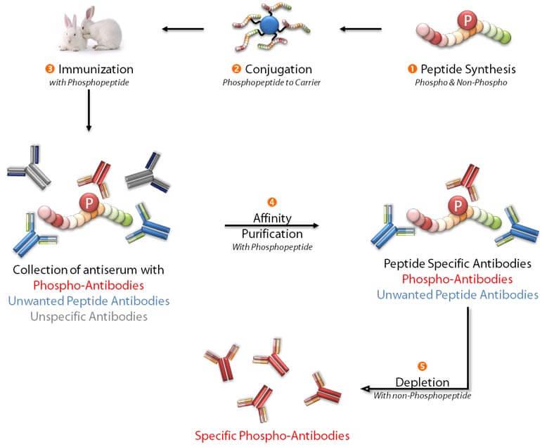Phosphospecific Antibodies Procedure